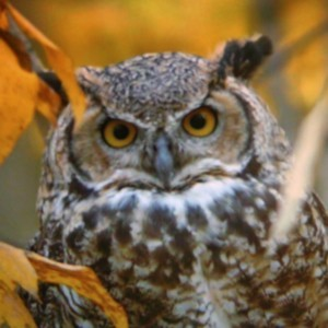 Wildlife: Horned Owl