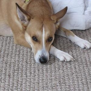 what breed of dog is she basenji mix dingo mix something else