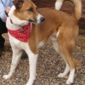 Reddish brown and white dog with up curling tail.