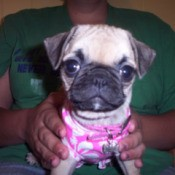 Pug with pink and white shirt
