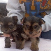 Two Yorkie puppies on a table.