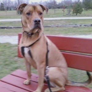 Large light brown dog with large head sitting on park bench.