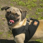 Pug wearing a harness