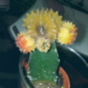 Dying Cactus