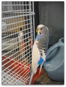 budgie on cage
