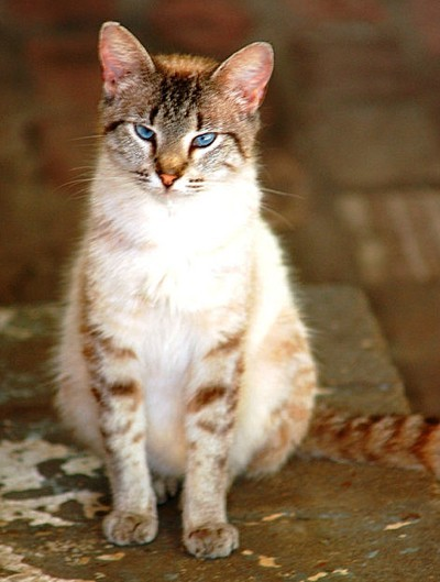 Reddish brown tabby cat with blue eyes.