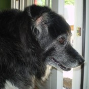 Dog looking out window.