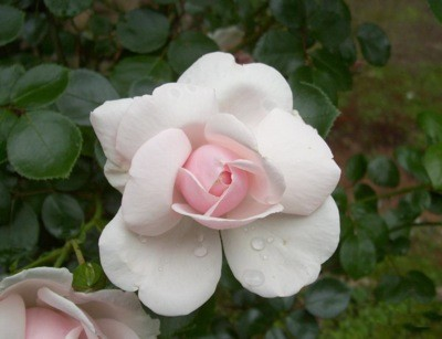 Closeup of pretty pale pink rose.