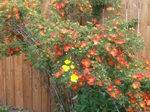 Orange rose bush with one branch blooming yellow.