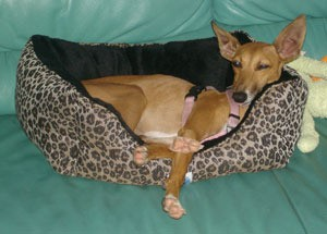 Italian Greyhound laying in dog bed.