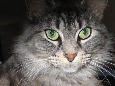 Closeup of beautiful grey cat with green eyes.