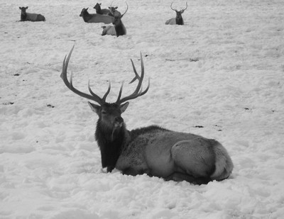Elk in the snow.