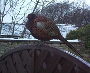 pheasant on fence