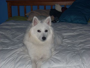 White dog on bed.