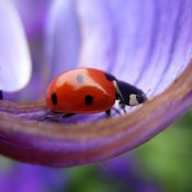 ladybug on purple lilac flower petal