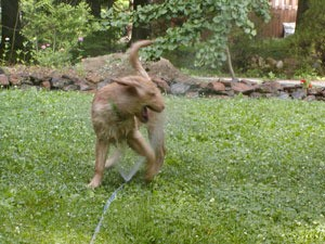 Dog playing in sprinkler.