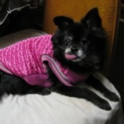 Chihuahua in pink coat.