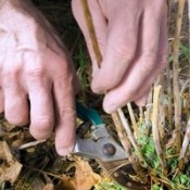 Hands with pruning shears cutting back plant.