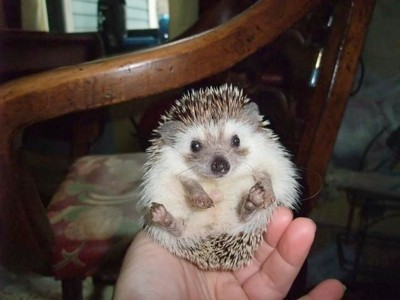 Elvis (Pygmy Hedgehog)