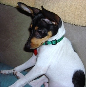 Milo (Jack Russell/Toy Fox Terrier)
