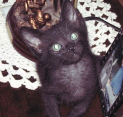 Briquette (Domestic Shorthair)