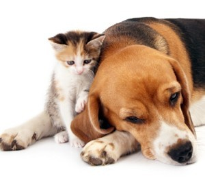 Beagle lying down with a small kitten.