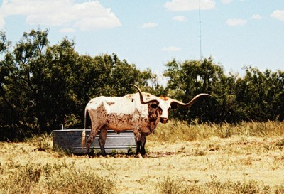 Longhorn Cattle (New Mexico)