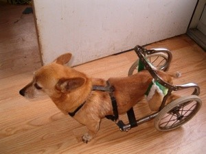 Dog with rear leg wheeled cart.