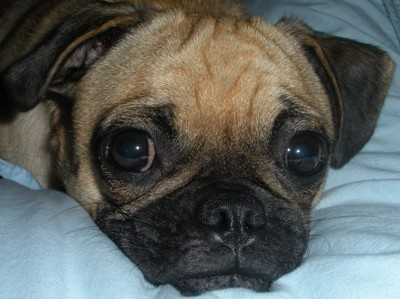 closeup of Pug's face