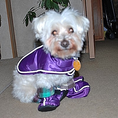 Dog with purple outfit.