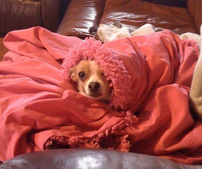 Dog in blanket.