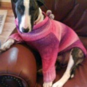 Bull terrier in sweater on couch