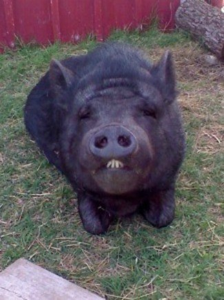 Pot bellied pig information and photos thriftyfun - Pot belly pigs as indoor pets ...