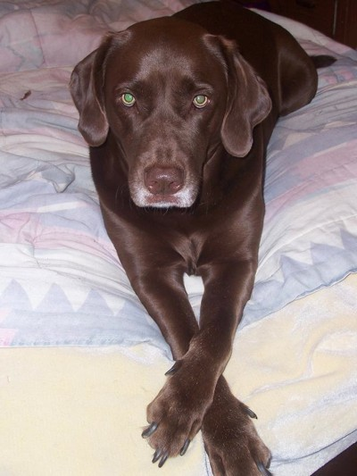 Chocolate Lab mix on bed.