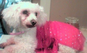 White dog in pink outfit.