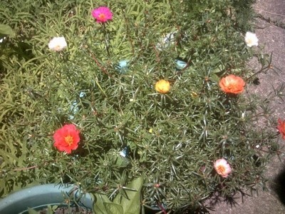 varying colored flowers on portulaca