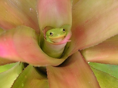 Frog peeking out of center of bromeliad.