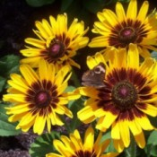 Bright yellow flowers with brown centers.