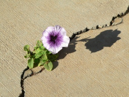 A petunia growing in a crack in pavement.