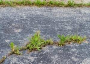 Grass Growing in Pavement Cracks