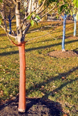 tree protected for winter