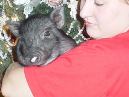 BettyBoots (Potbelly Pig)