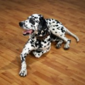 Dog on Laminate Flooring