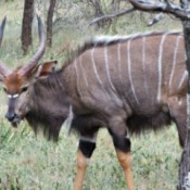 Nyala (Dinokeng North, South Africa)