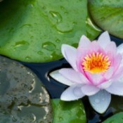 pale pink waterlily blossoms