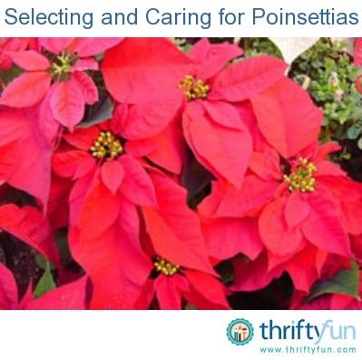 Selecting And Caring For Poinsettias Thriftyfun