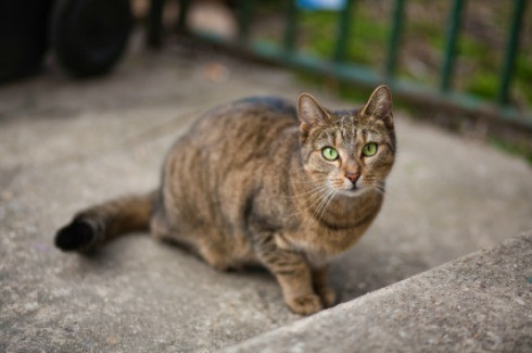 can female cats spray after being spayed