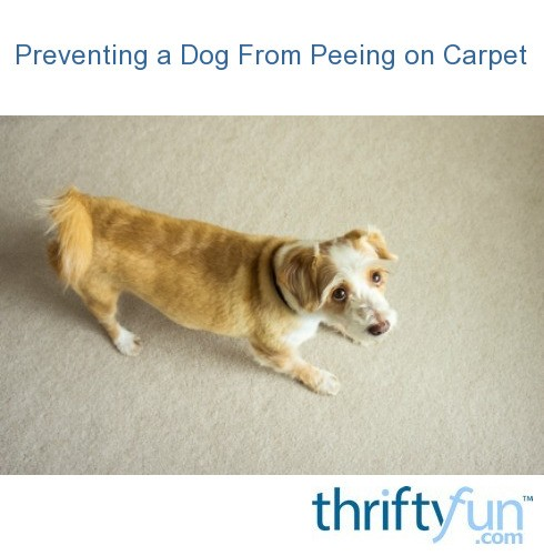 how to stop dog from peeing on rug