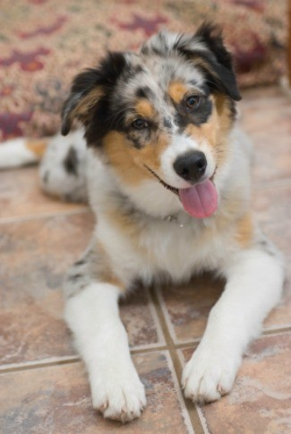 Parents this is a guide containing australian shepherd mix photos