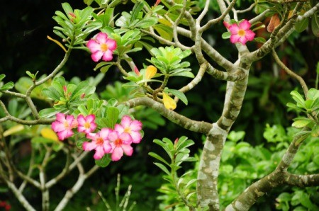 Frangipani Tree with pink blossoms.